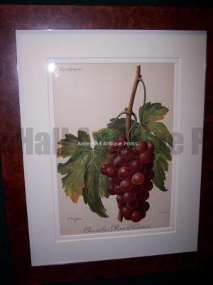 Ampelographie Chasselas Rose Falomon Wine Grapes FR3