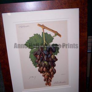 Ampelographie Fabalkansoi Wine Grapes FR4