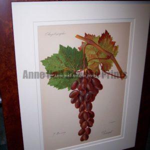Ampelographie Liment Wine Grapes FR5