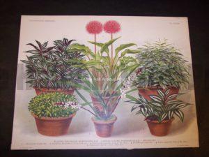 9491 Belgian Plant Lithograph
