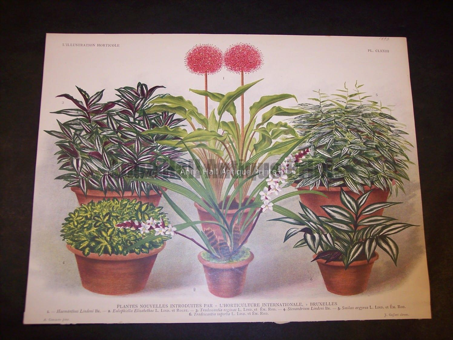 9491 Belgian Plant Lithograph
