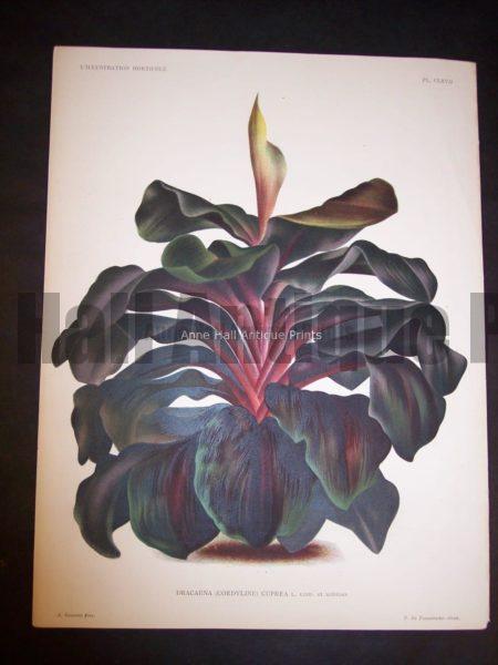 9492 Belgian Plant Lithograph