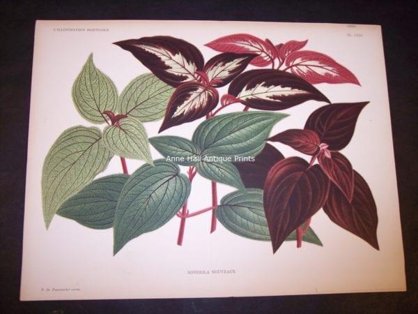 9493 Belgian Plant Lithograph