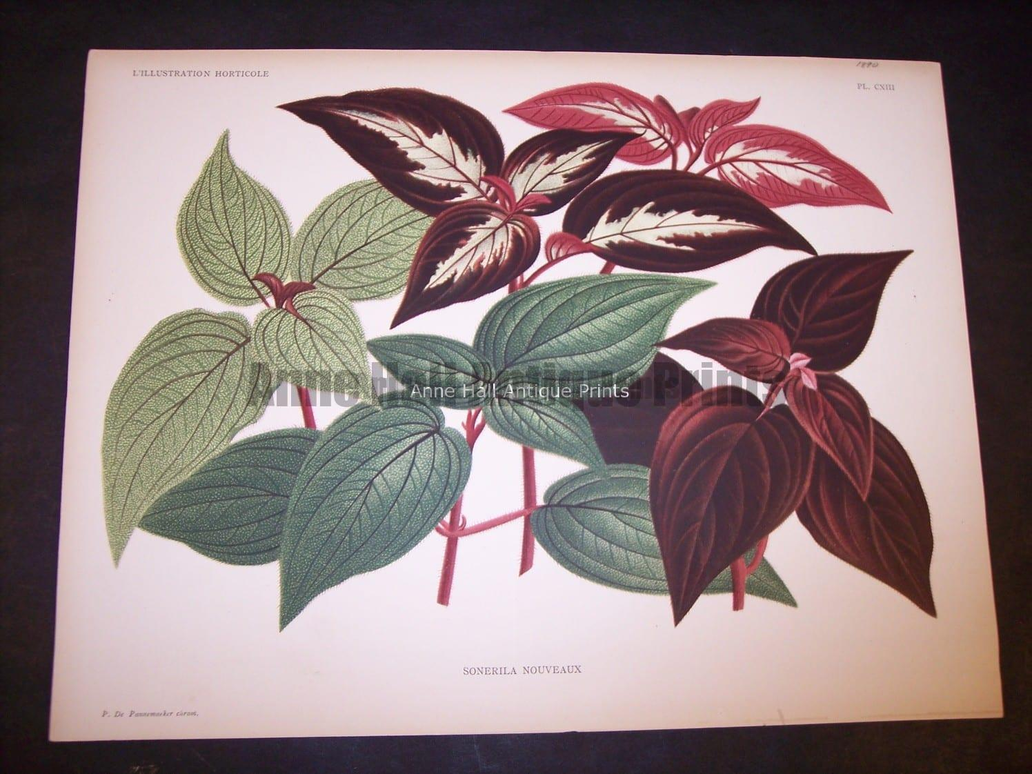 9493 Belgian Plant Lithograph