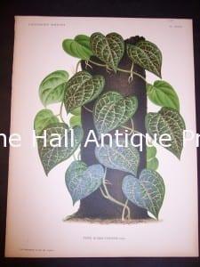 9494 Belgian Plant Lithograph