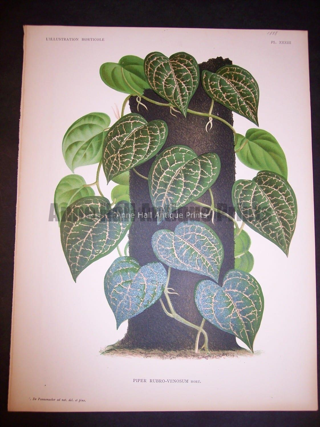 9494 Belgian Plant Lithograph