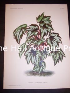 9495 Belgian Plant Lithograph