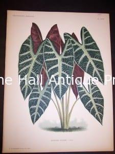 9496 Belgian Plant Lithograph