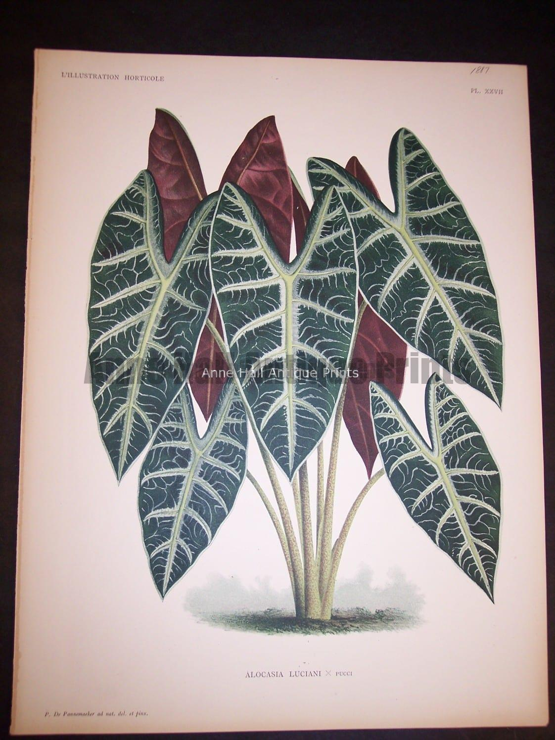 9496 Belgian Plant Lithograph