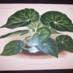 9497 Belgian Plant Lithograph