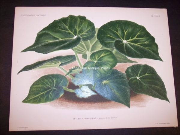 9497 Belgian Plant Lithograph