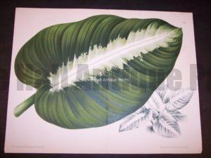 9498 Belgian Plant Lithograph