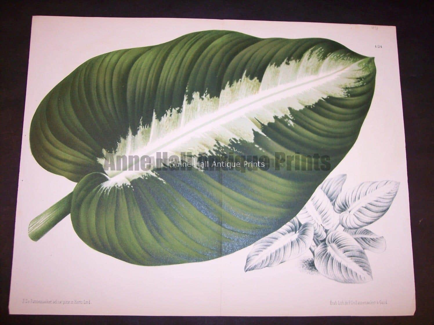 9498 Belgian Plant Lithograph