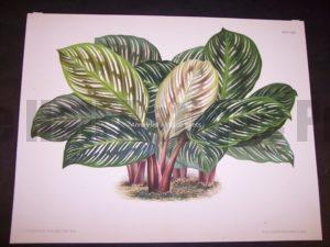 Belgian Plant Lithograph 9500
