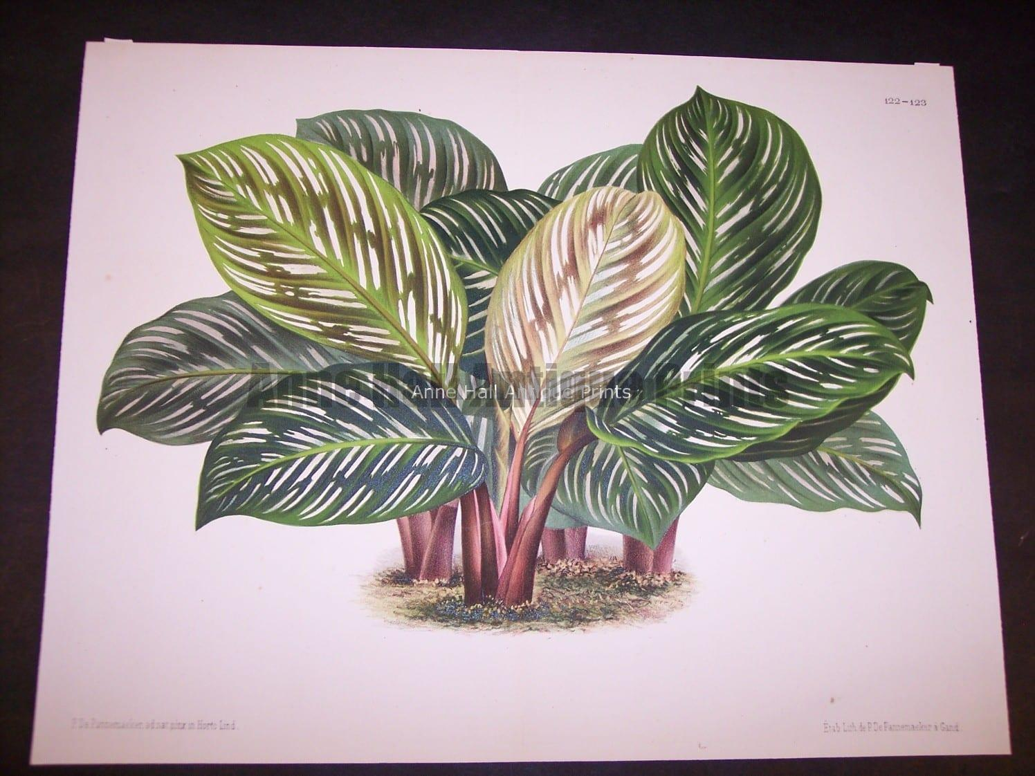 Belgian Plant Lithograph 9500