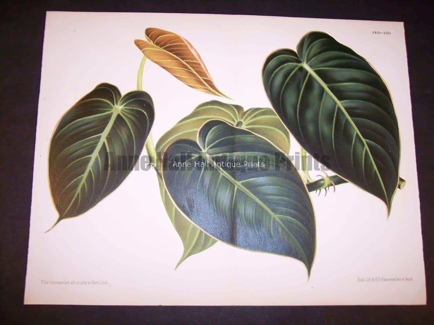 Belgian Plant Lithograph 9501