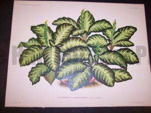 9492 Belgian Plant Lithograph