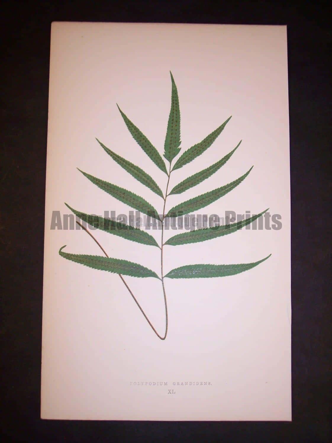 Polypodium XL Lowe Fern Chromolithograph 504