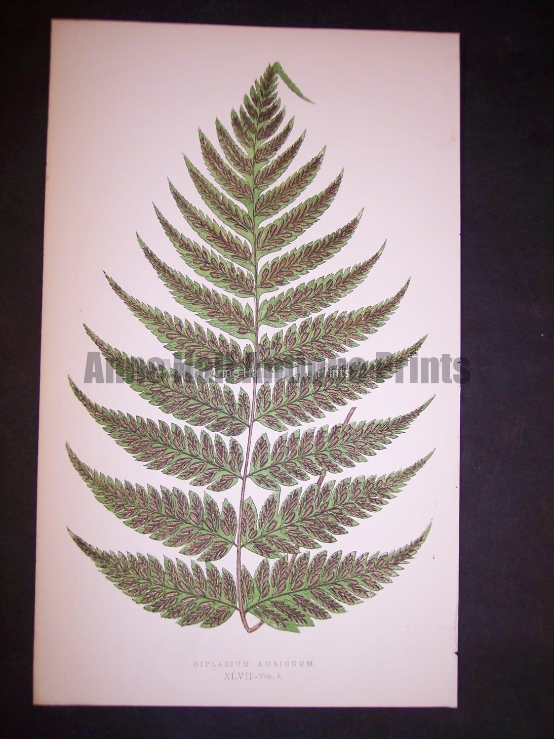 Diplazium XLVII Lowe Fern Chromolithograph 505