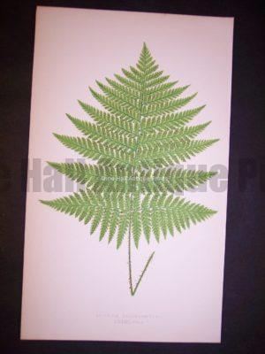 Aspidium XXXIII Lowe Fern Chromolithograph 507