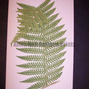 Polypodium LII Lowe Fern Chromolithograph 508