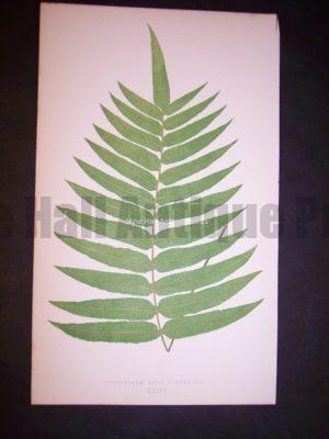 Polypodium XXXVI Lowe Fern Chromolithograph 510