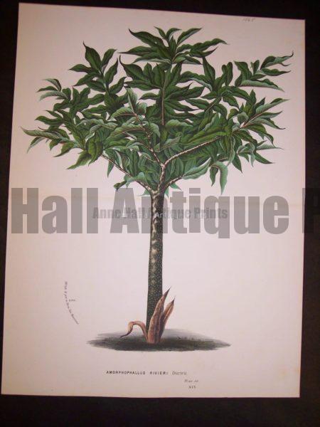 Amophophallus Rivieri