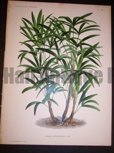 Rhapis Kwamwonzick Old Print of Palm Tree