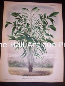Astrocaryum Murumuru Old Print of Palm Tree