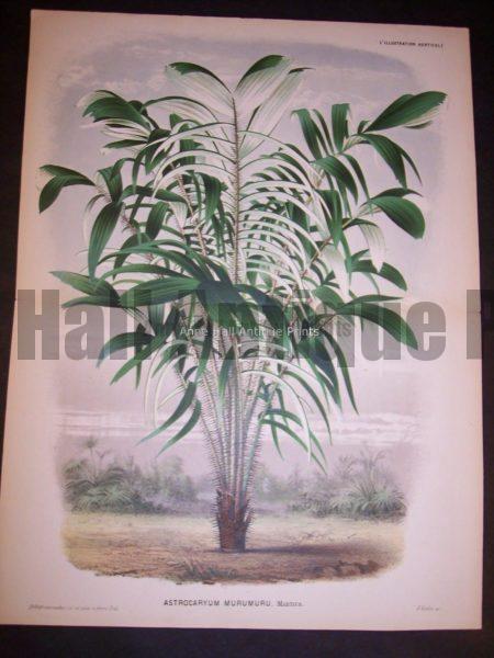 Astrocaryum Murumuru Old Print of Palm Tree