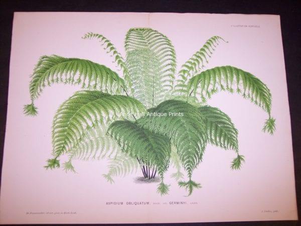 Aspidium Obliquatum