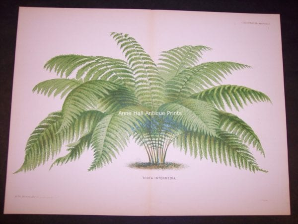 Todea Intermedia Old Print of Palm Tree