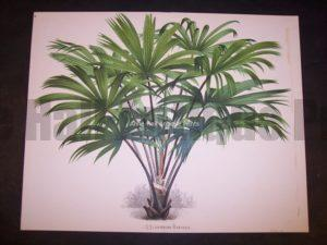 Rhapis Old Print of Palm Tree