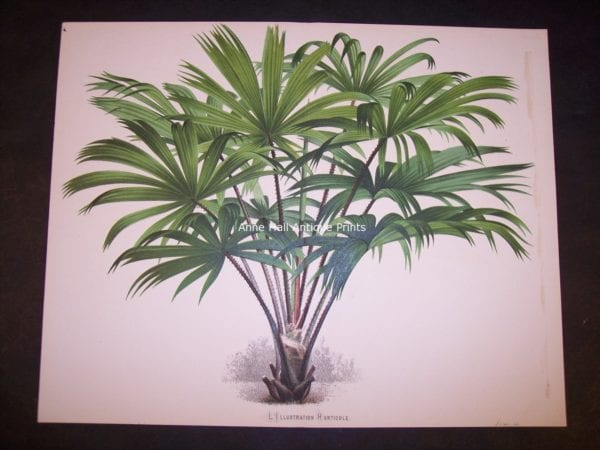 Rhapis Old Print of Palm Tree