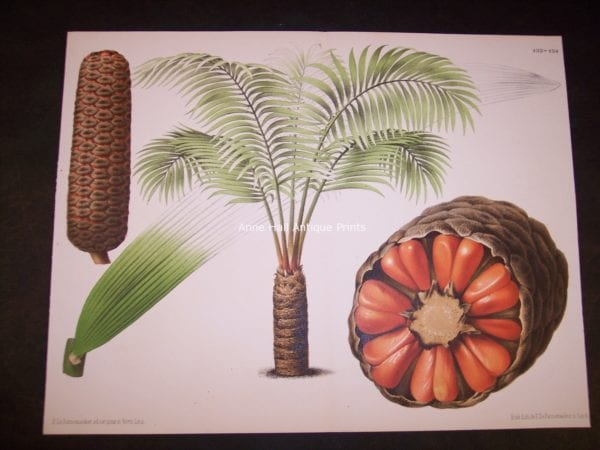 Cyad with Seeds PL 133-134 Old Print of Palm Tree