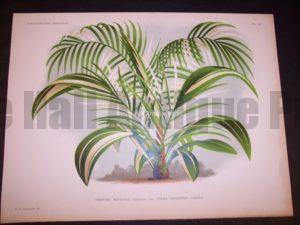 Phoenix Ruplicola L'illustration Horticole. Large hand colored chromolithograph $200.