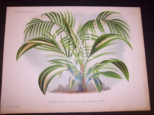 Phoenix Ruplicola L'illustration Horticole. Large hand colored chromolithograph $200.
