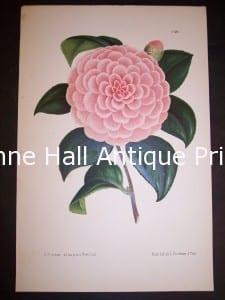Antique Camellia Print