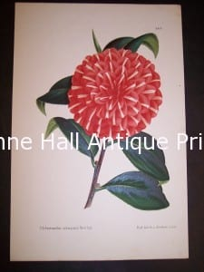 Hand finished color lithograph of Camellia.