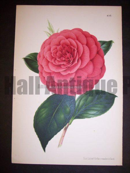 Old print of Camellia