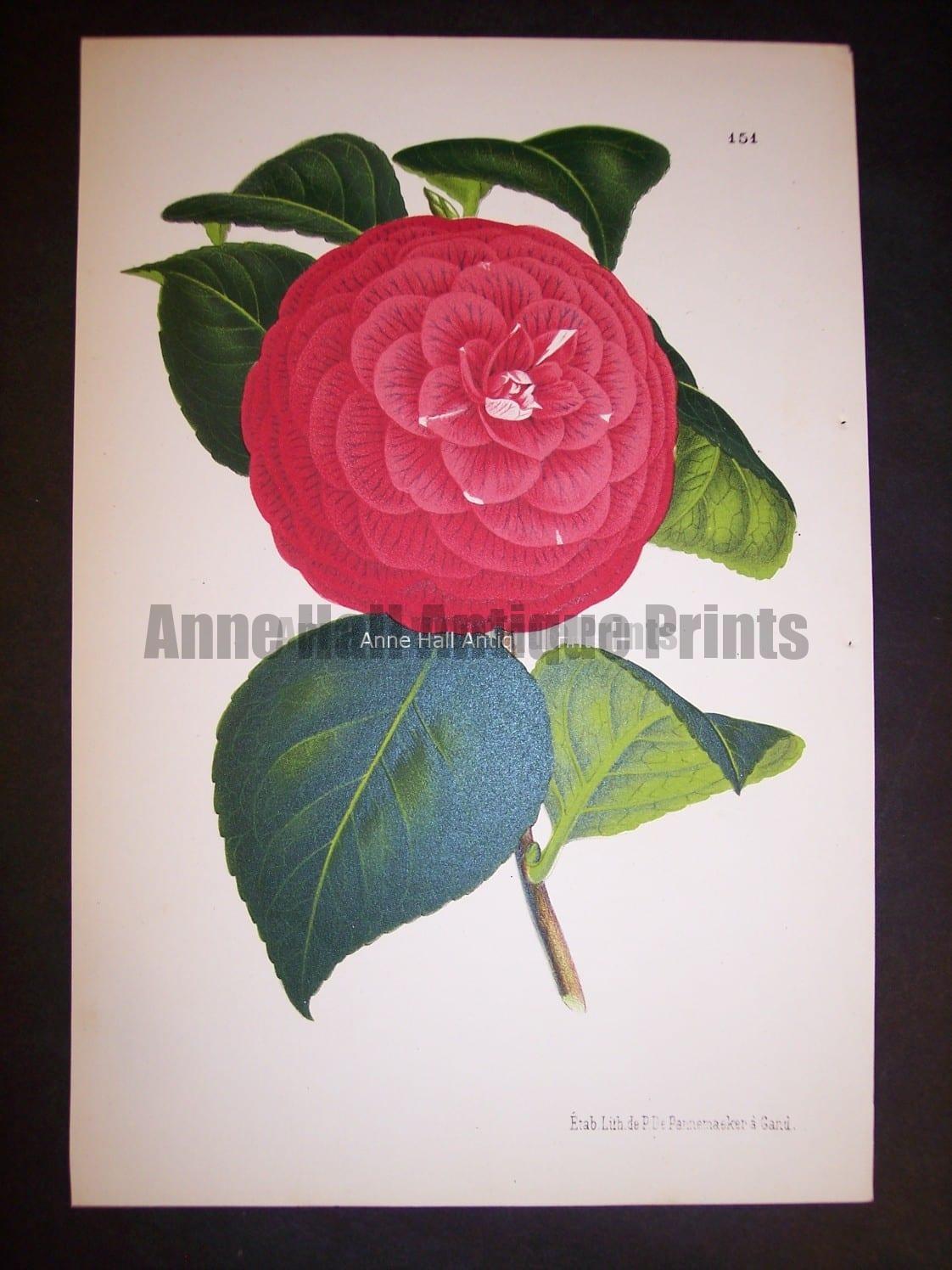 Old Camellia Print
