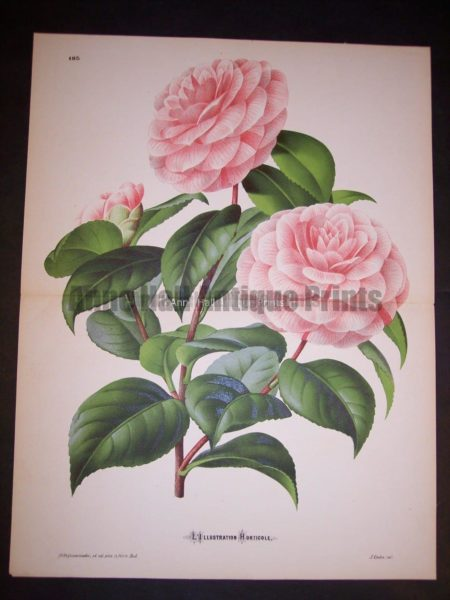Fancy Flower Camellias 9544