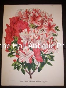 9557. Old hand finished lithograph of Azaleas 350.