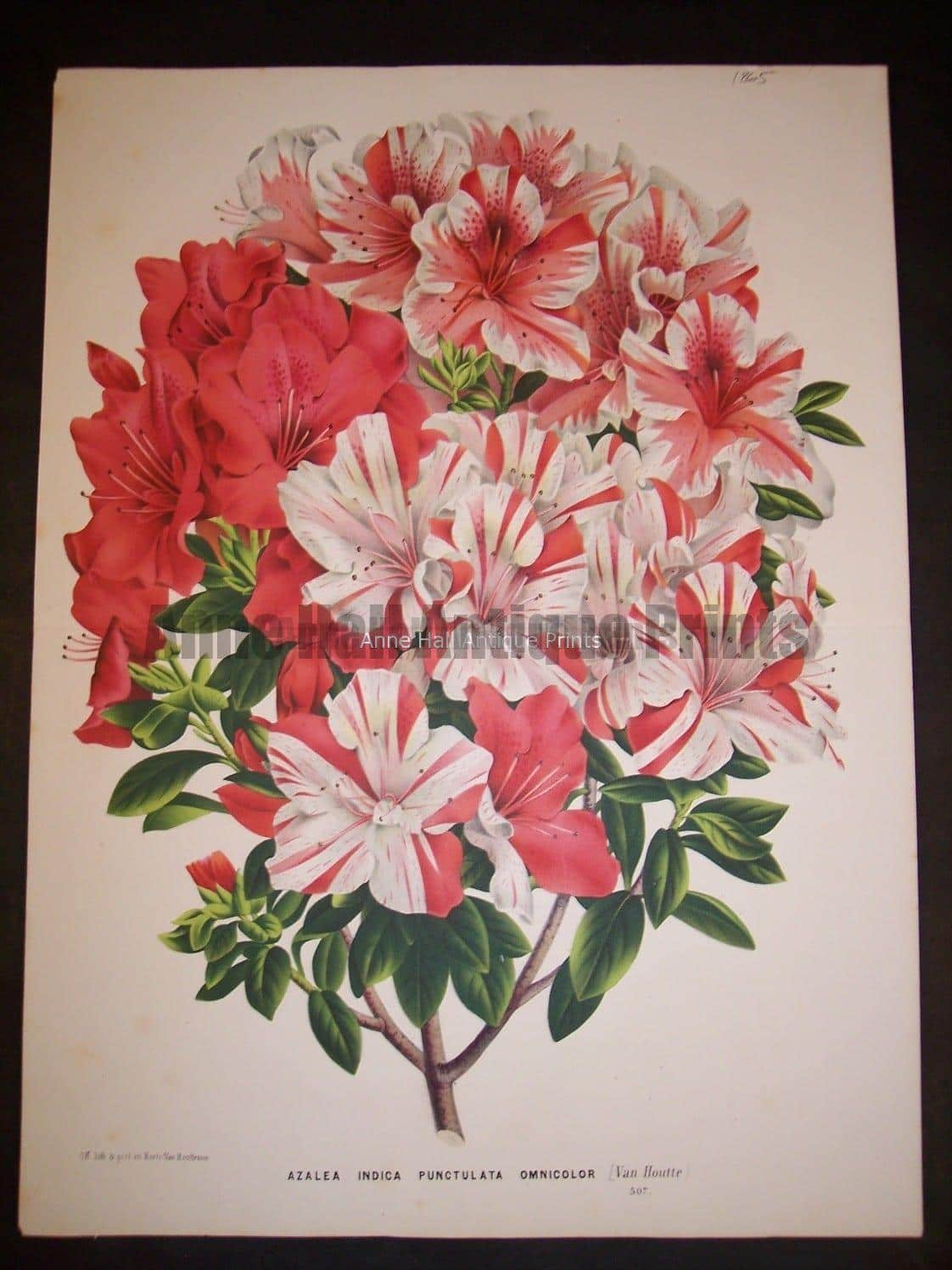 Magnificent multi colored azaleas lithograph for Louis Van Houtteano's Flore des Serres, c.1860.