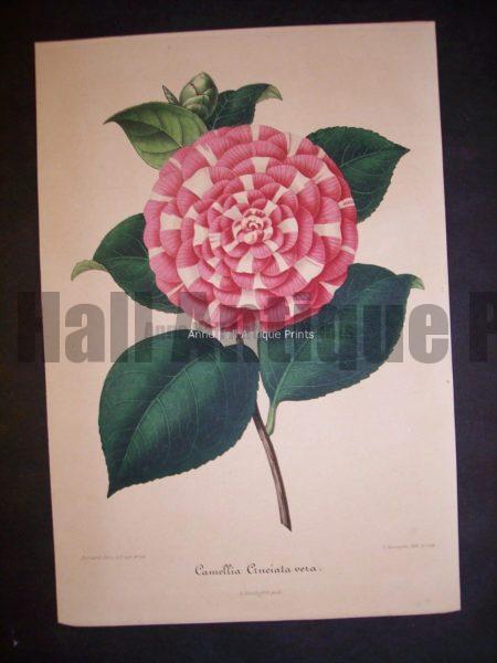 Old Verschaffelt Camellia Lithograph