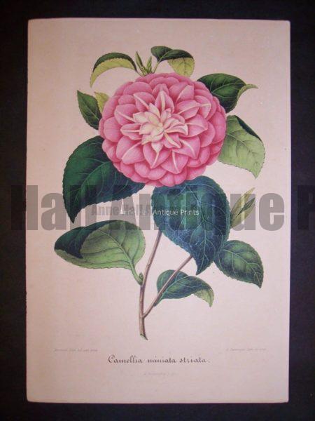 Old Verschaffelt Camellia Print