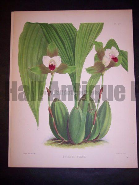 Lycaste Plana PL 230, c.1885. $150.