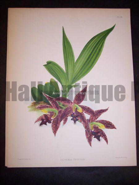 Paphinia Cristata PL 150, c.1885. $150.