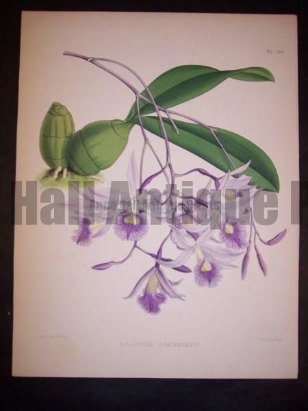 Laeliopsis Domingensis PL 199, 1885. $150.