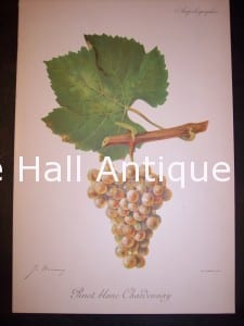 Viticulture Grape chromolithographs. Produced in France for Ampelographie in 1897.